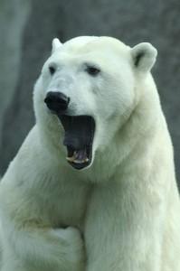 acercamiento oso polar