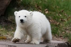 cachorro oso polar