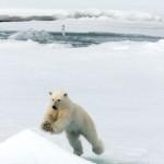 oso polar saltando