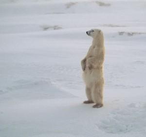 oso polar parado