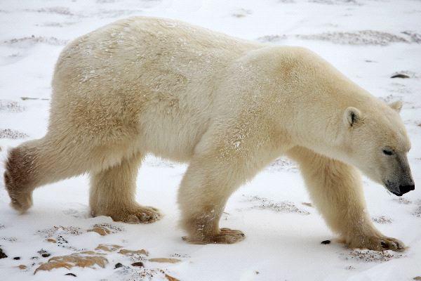 oso polar caminando