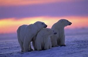 osos polares y cachorros