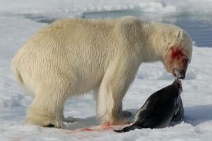 oso polar comiendo