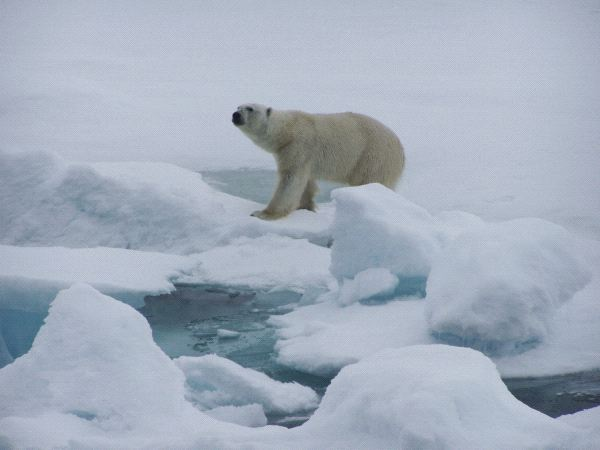 oso polar en su habitat