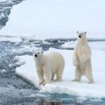 dos osos polares