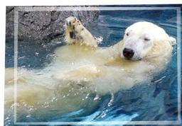 oso polar adaptacion